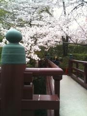 増上寺の桜.JPG